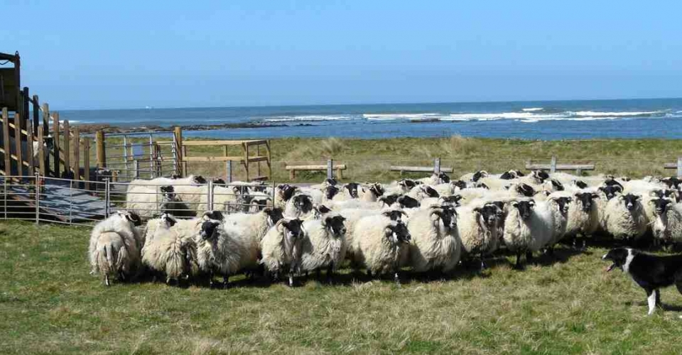 Sheep Barns Ness