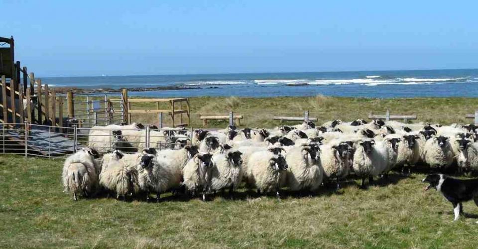 Sheep Barns Ness